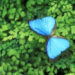 blue-butterfly-on-green-leaves-150x150[1]
