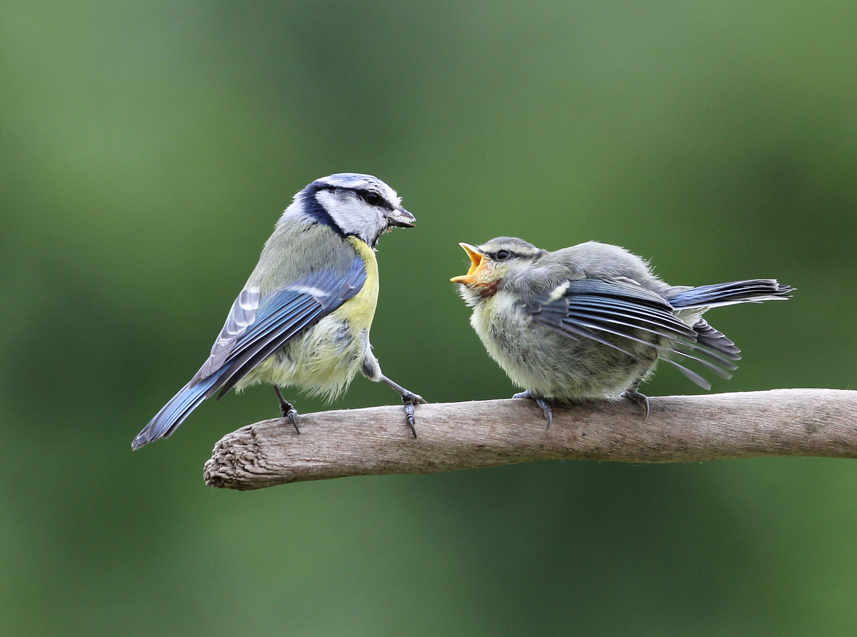 BlueTit feeding chick-4459-SYC-300512