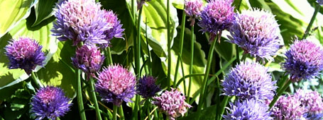 what is naturopathy - image of chive plant