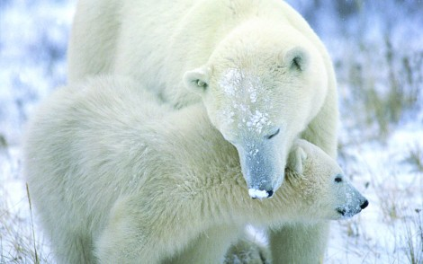 nature-animals-polar-bears-baby-animals