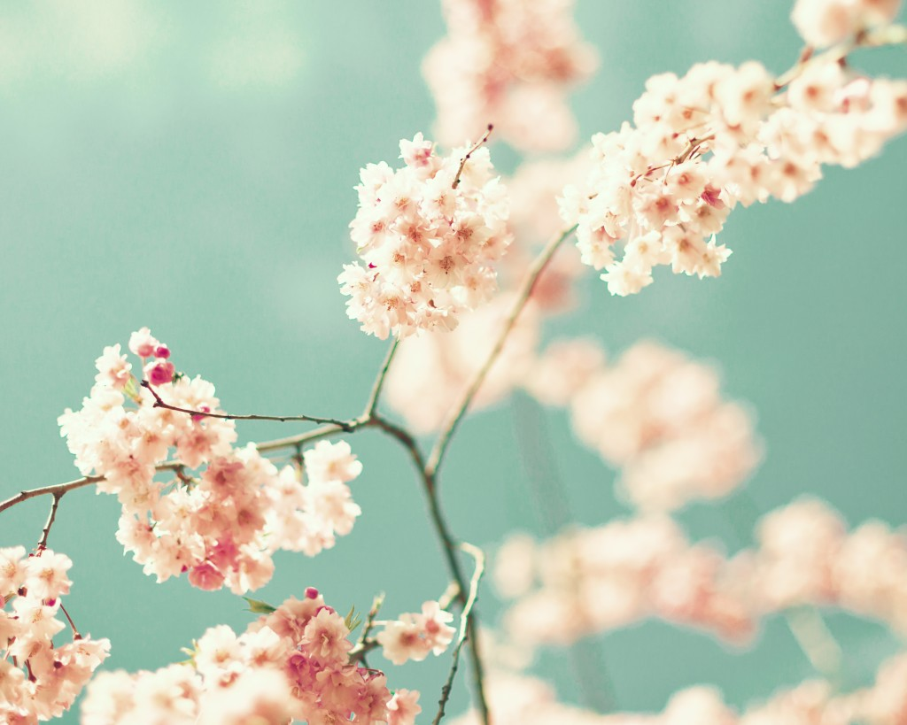 Vintage cherry blossoms in a tree in spring