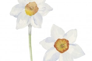Spring flowers narcissus isolated on white background. Vector, watercolor   illustration.