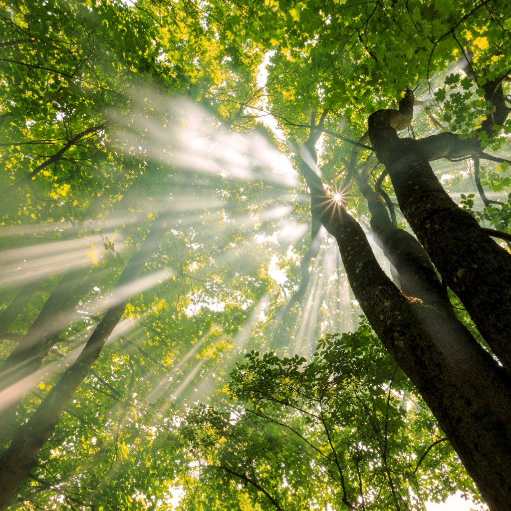 Foggy Forest With Awesome Light Rays Sun