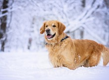 Golden Retriever (Canis familiaris) in snow